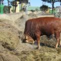 Sandstone purchases new Afrikaner Bull
